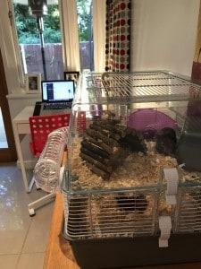 bob-the-hamster